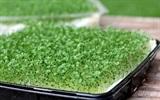 Hướng dẫn trồng rau mầm từ hạt chia đơn giản bàng giấy ướt