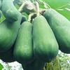 10 loại thực phẩm dễ gây sẩy thai cho mẹ bầu