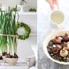 Cách trồng hoa thủy tiên đón Tết về