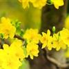 Bí kíp giữ hoa đào - hoa mai tươi lâu trong ngày Tết