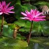 Bài thuốc quý từ 4 loại hoa quen thuộc của người miền Tây