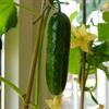 Cách trồng dưa leo an toàn tại nhà cho chị em