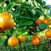 Kỹ thuật trồng cây quất ngày Tết