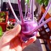 Trồng su hào thêm sắc tím cho khu vườn nhà bạn