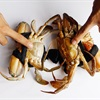 4 mẹo cơ bản giúp bạn chọn mua cua biển ngon gạch, chắc thịt
