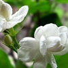 10 bài thuốc chữa bệnh từ hoa nhài rất dễ làm