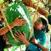 Hoa mắt với giống bí đao khổng lồ ở Bình Định