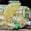 Cách trồng giá đỗ an toàn trong chai nhựa