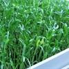 Cách trồng rau muống xanh mơn mởn trong thùng xốp