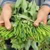 Những mối nguy hiểm của rau muống ít người để ý