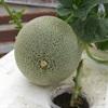 Cách trồng dưa ngọt mát dễ ợt trong thùng xốp tại nhà