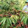 Tây nguyên - mảnh đất của những vườn cà phê ngào ngạt hương thơm