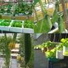 Khám phá khu vườn trong thùng xốp cho rau ăn không kịp của chị Thảo ở Long An