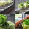 Cách trồng xà lách trong nước, vừa ngon lại đẹp nhà