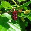 8 loại trái cây rừng 'bắt mắt lạ tai' mà ngon miệng