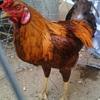 Cách chọn gà ngon để cúng trong ngày Tết