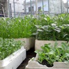 6 loại rau trồng tháng 3 bằng thùng xốp ăn mãi không hết