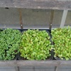 """Cách trồng rau mầm lớn nhanh trong """"nhà kính"""" thu nhỏ từ vỏ chai"""
