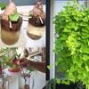 Bạn đã bao giờ thử trồng khoai lang từ nửa củ khoai chưa nào?
