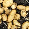 10 công dụng hữu ích bất ngờ của khoai tây trong đời sống thường nhật