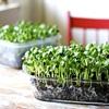 Cách trồng rau mầm trong nhà đơn giản