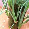 2 cách trồng hành lá siêu đơn giản đủ ăn cho cả gia đình