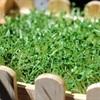 Hướng dẫn trồng rau mầm từ hạt chia đơn giản bằng giấy ướt
