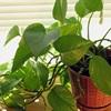 12 loại cây trồng trong nhà giúp không khí thoáng mát, sạch bụi bẩn và có lợi cho sức khỏe