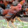Bật mí địa chỉ bán gà ta thả vườn chính hiệu ở TP Hồ Chí Minh