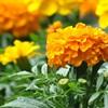 Những loại hoa cấm kỵ tuyệt đối không nên chưng trên bàn thờ tổ tiên vào dịp Tết