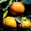 Cách phân biệt cam Canh Việt Nam với cam Canh Trung Quốc vào những ngày Tết