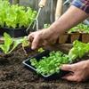 Mẹo trồng rau tại nhà xanh tốt không cần phân bón bằng chuối và trứng