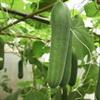 Cách trồng dưa leo trong thùng xốp tại nhà sai quả
