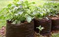 Tận dụng túi nilon để trồng khoai tây sai củ cực đơn giản ngay tại nhà