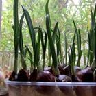 Cách trồng tỏi lấy lá để nấu ăn
