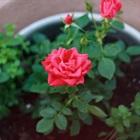 Cách trồng và chăm sóc hoa hồng tại nhà