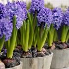 Hướng dẫn trồng hoa tiên ông đem may mắn đến cả năm