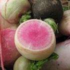 Cách trồng củ cải mini trắng vỏ đỏ lòng vừa đẹp vừa ngon