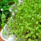 Các bước trồng rau mầm an toàn