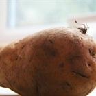 Tận dụng túi nilon thừa để trồng khoai tây sạch ở nhà phố