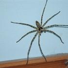 Đuổi nhện ra khỏi nhà với những cách đáng ngạc nhiên