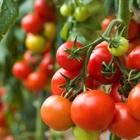 Bí kíp trồng cà chua siêu nhanh vào mùa hè