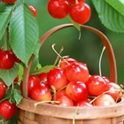 Kỹ thuật trồng cây cherry đậu trái quanh năm