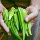 Trồng đậu bắp trong thùng xốp cho sai trĩu quả với 5 bước cực dễ