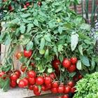 7 loại cây gia vị nên và không nên trồng cùng rau củ quả