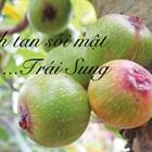 Bài thuốc thần kỳ đánh tan sỏi mật từ trái sung