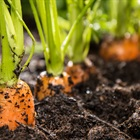 Bí quyết trồng cà rốt tí hon khiến chị em mê mẩn