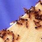 Cách hay để đuổi sạch kiến ra khỏi lọ đường nhanh nhất