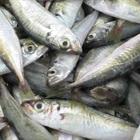 Nhận biết cá nục biển tươi ngon không hóa chất bằng cách nào?