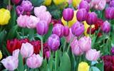 Trồng hoa tulip từ củ giống